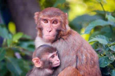 Когда прорезаются зубы у шимпанзе?